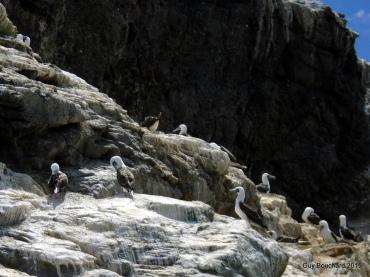 Des cormorans dans la réserve de Pingouin de Humboldt