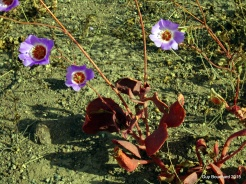 La fameuse fleur qui apparait très rarement dans le désert