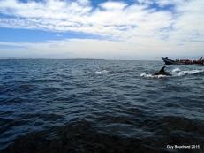Des dauphins dans la réserve de Pingouin de Humboldt