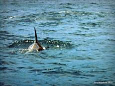 Un dauphin dans la réserve de Pingouin de Humboldt