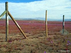 Phénomène rare, le désert en fleur, j'ai eu la chance de le vivre près de Vallenar