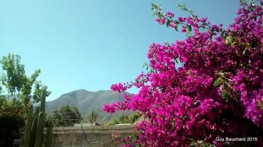 Arbre en fleur à Vicuna
