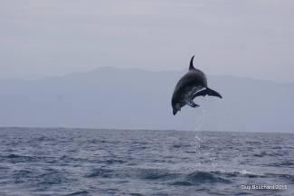 Un dauphin (photo d'une amie)